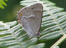 Purple Hairstreak 225W