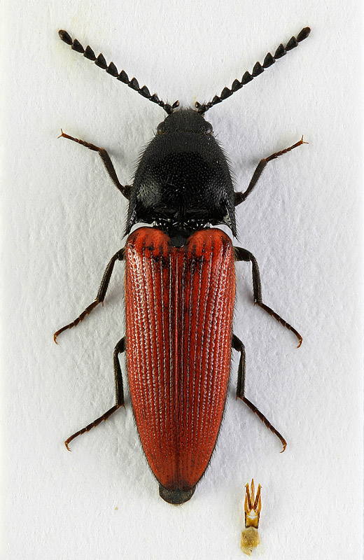 A. rufipennis