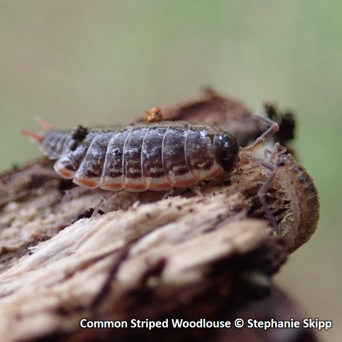 Common Striped Woodlouse SQUARE